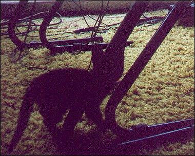 Othello as a six-week old kitten