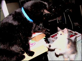 Othello and Olivia in Kitty Cattle Battle